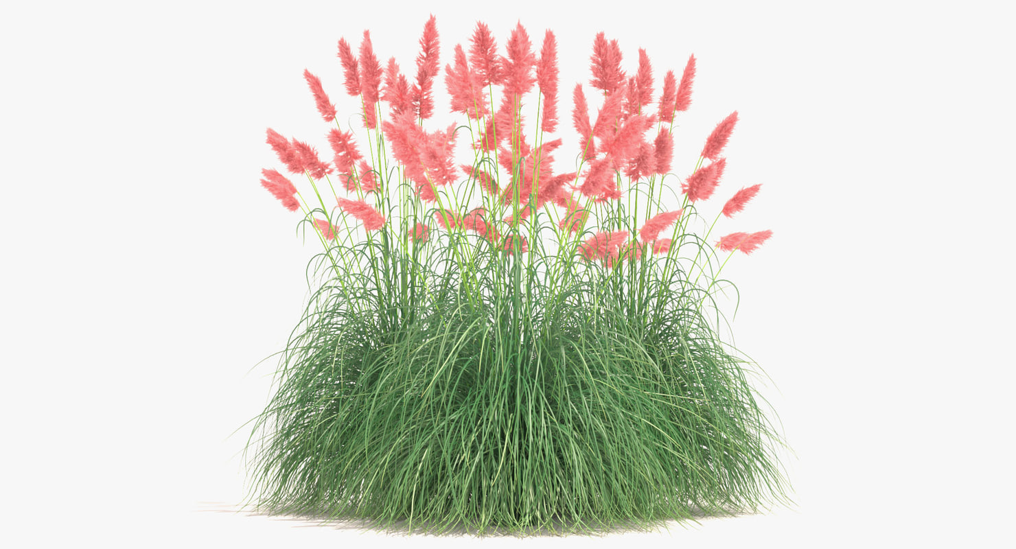 pampas_grass_001_sign100x185.jpg