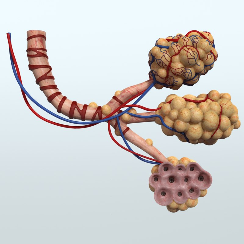 Alveoli_Preview_01.png