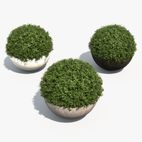 Boxwood Shrubs in Bubble Pots
