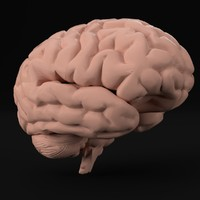 3d pbr uv-unwrapped human brain model