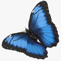 Blue Morpho Butterfly Wings Open Pose 02
