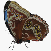 Blue Morpho Butterfly Wings Closed