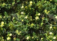 Flowering hedge 01