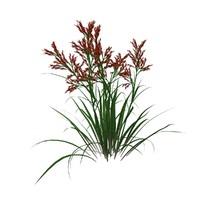 Red Tip Grass