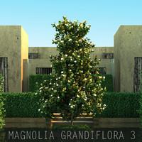 10 Magnolia grandiflora 3