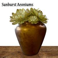 flower sunburst aeonium max