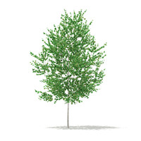 silver birch tree betula max