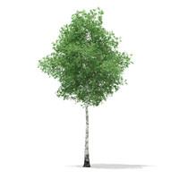 Silver Birch (Betula pendula) 14.8m