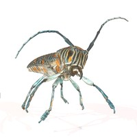 3d rigged insect zographus regalis model