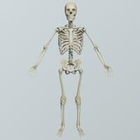 realistic human skeletal bones 3d model