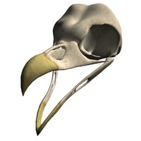 barn owl skull 3d obj
