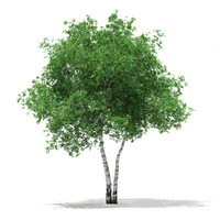 3d model silver birch tree betula