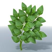 basil herb 3d model