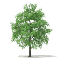 3d white willow tree salix model
