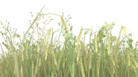 3d wheat field model