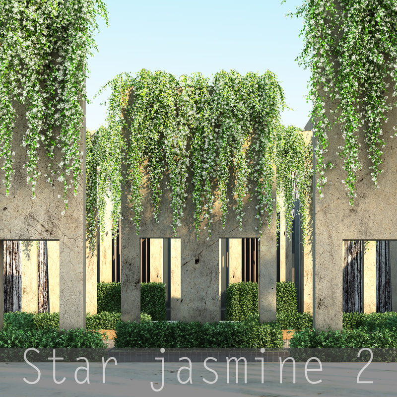 Star jasmine_00.jpg