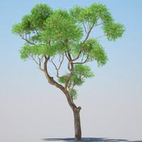 Eucalyptus tree 01
