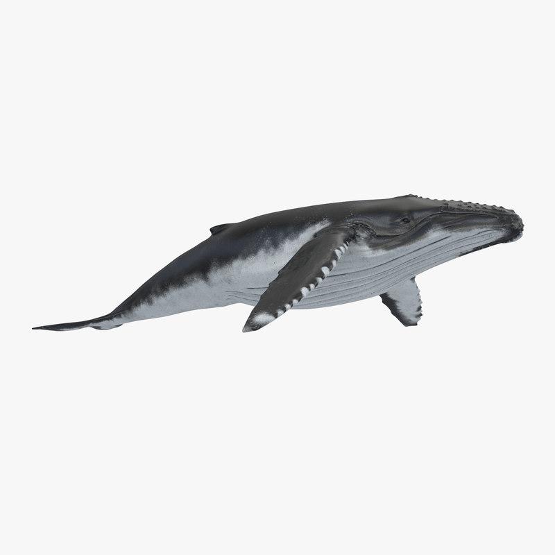 Humpback Whale vray 3d model 00.jpg