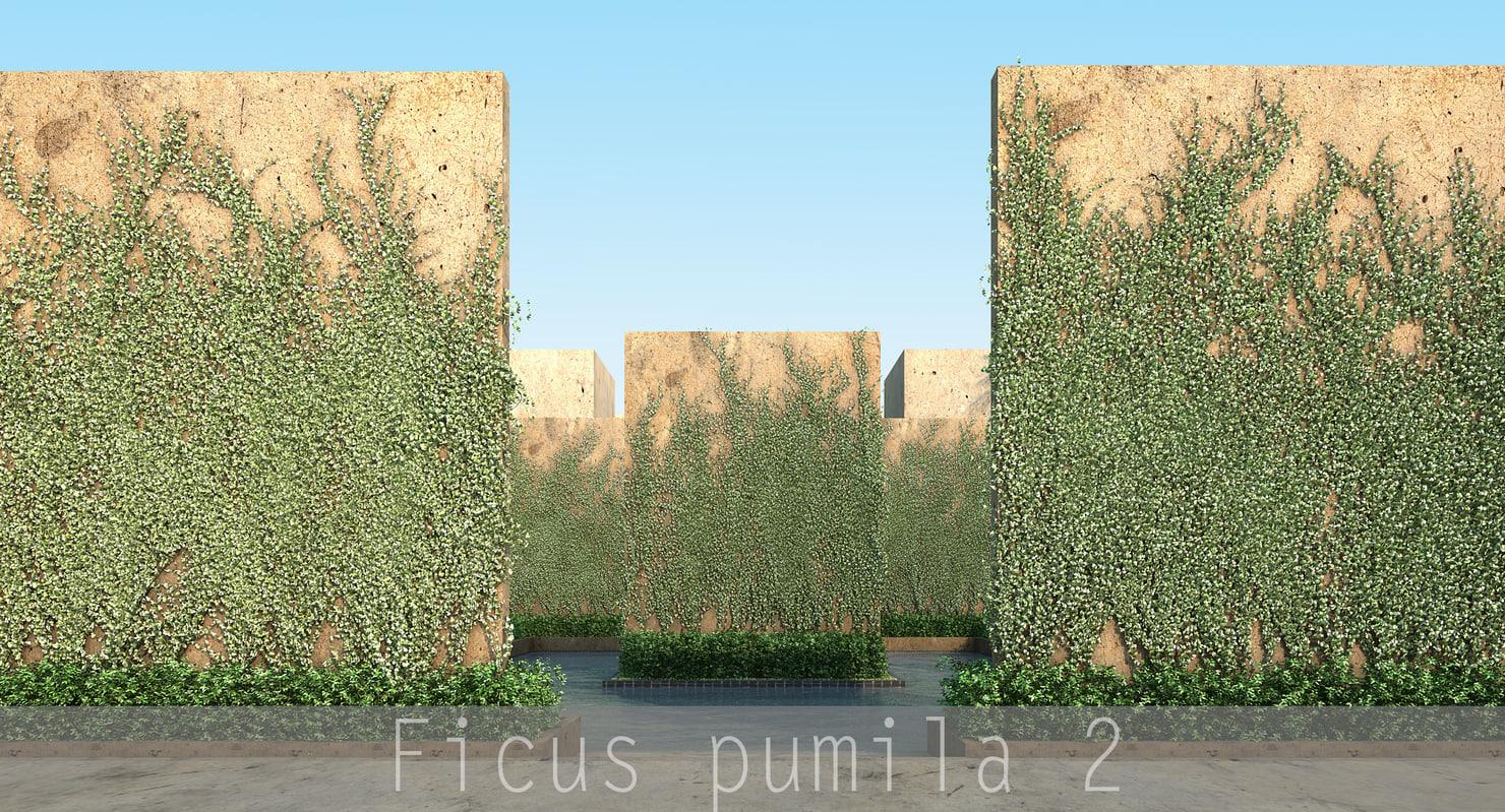 Ficus pumila_00.jpg