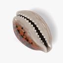 cowry shell 3D models