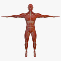 Anatomy Male Muscle Body (Rigged)