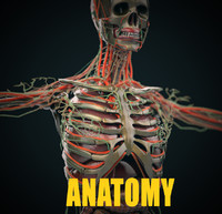 3d model human anatomy complete