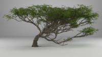 acacia tree max