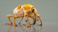 3d model poteriophorus monilifasciatus beetle