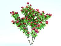 azalea japonica 3
