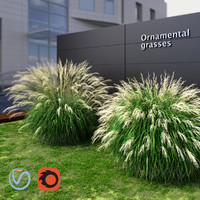 Ornamental grass Miscanthus large