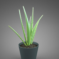 home plant Aloe vera