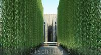 Dischidia 5