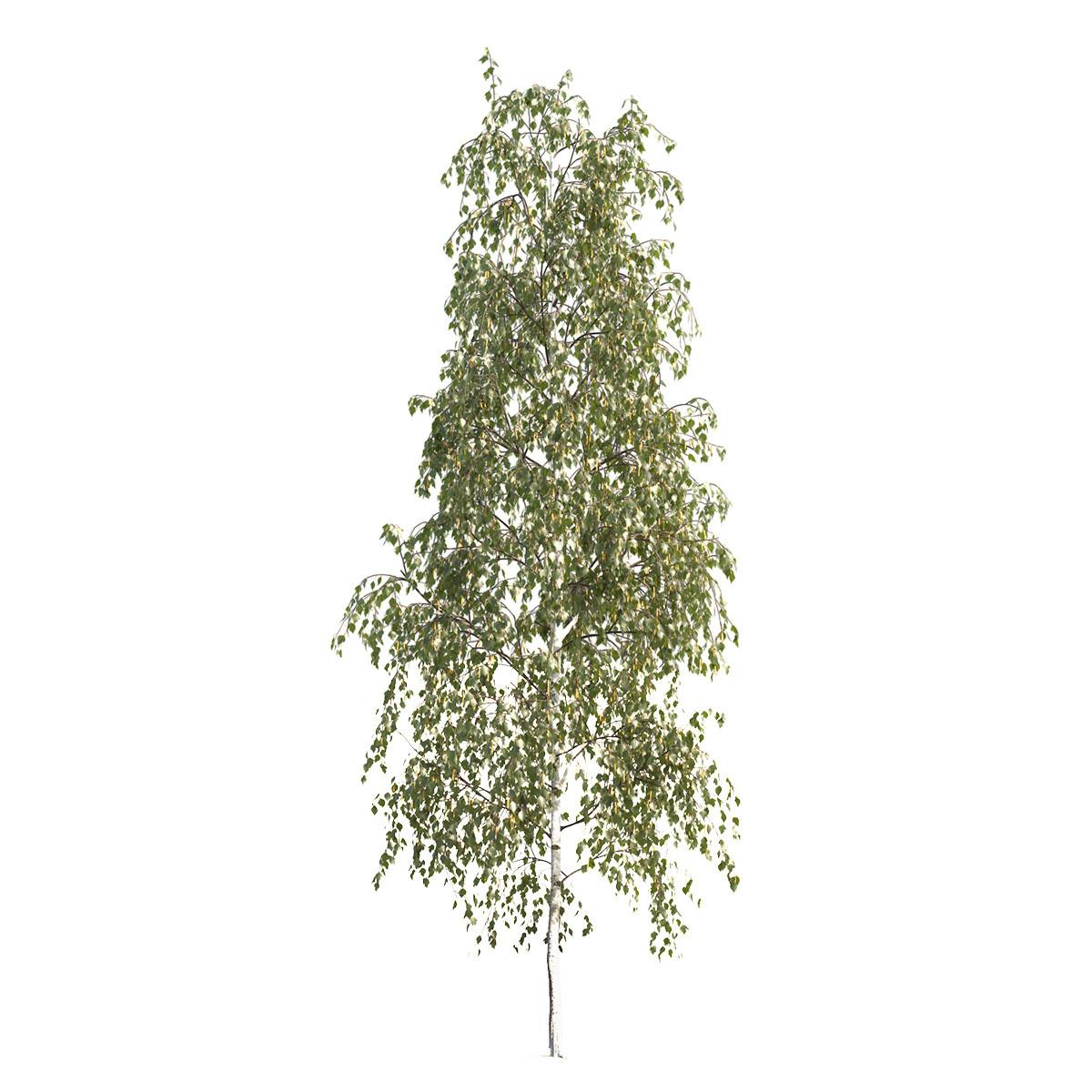 Vizport_HD_Tree_Betula_pendula_101SU_01.jpg
