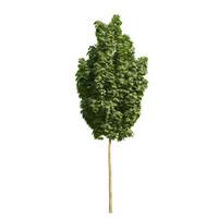 Acer platanoides columnare 101SU