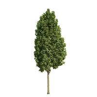 Acer platanoides columnare 201SU