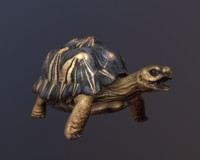 radiated tortoise 3d model