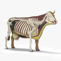 Cow Anatomy