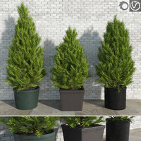 Pinus Trees in Pots