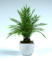 phoenix palm in pot date