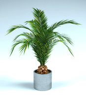phoenix palm 2 in pot
