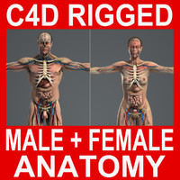 C4D_Male_Anatomy_V07