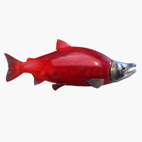 Sockeye Salmon (Animated)