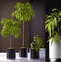 Ficus alii plants 65