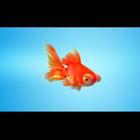 GoldFish Full RIGGED MORPHED ANIMATED