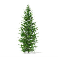 Norway Spruce (Picea abies) 2.7m