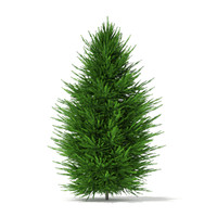 Norway Spruce (Picea abies) 2.4m