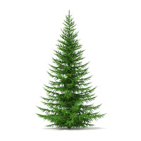 Norway Spruce (Picea abies) 4.9m