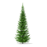 Norway Spruce (Picea abies) 7.3m