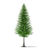 Norway Spruce (Picea abies) 8.3m
