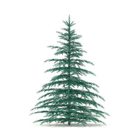 Blue Spruce (Picea pungens) 2.6m
